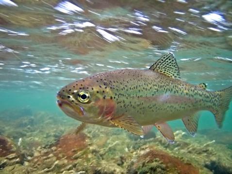 Steelhead / Rainbow Trout