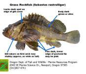 Grass rockfish animal biology 102 for Oregon fish and game
